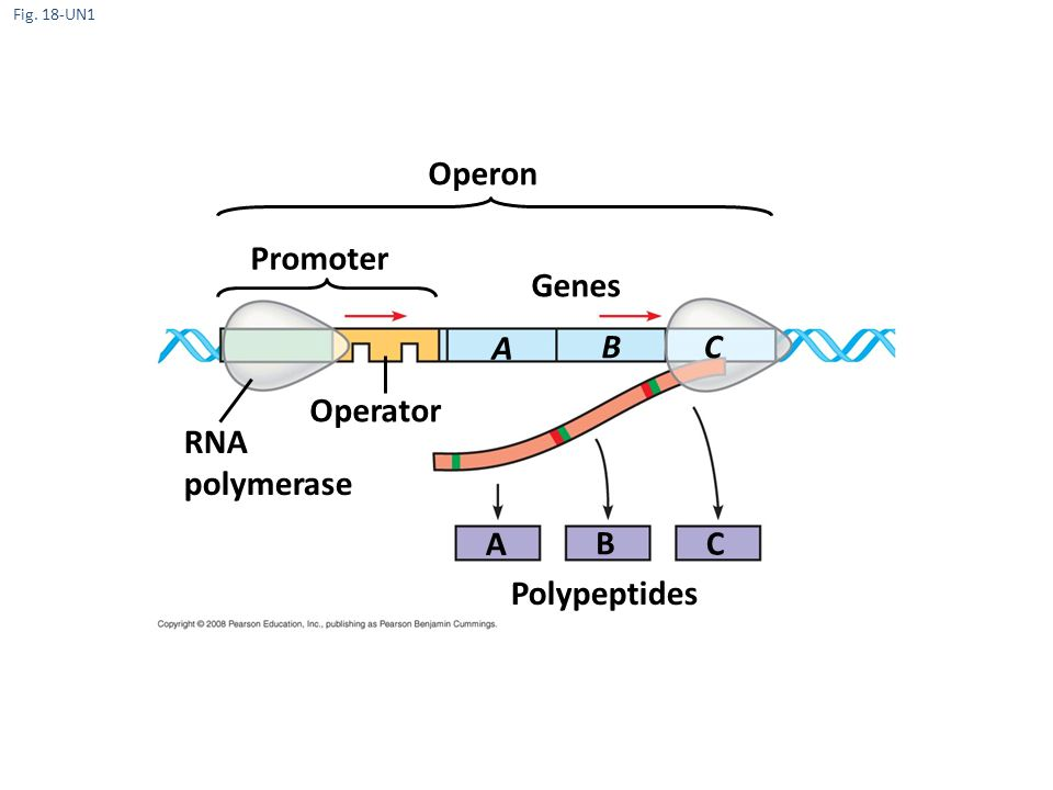 Operon Promoter Genes A B C Operator RNA polymerase A B C Polypeptides