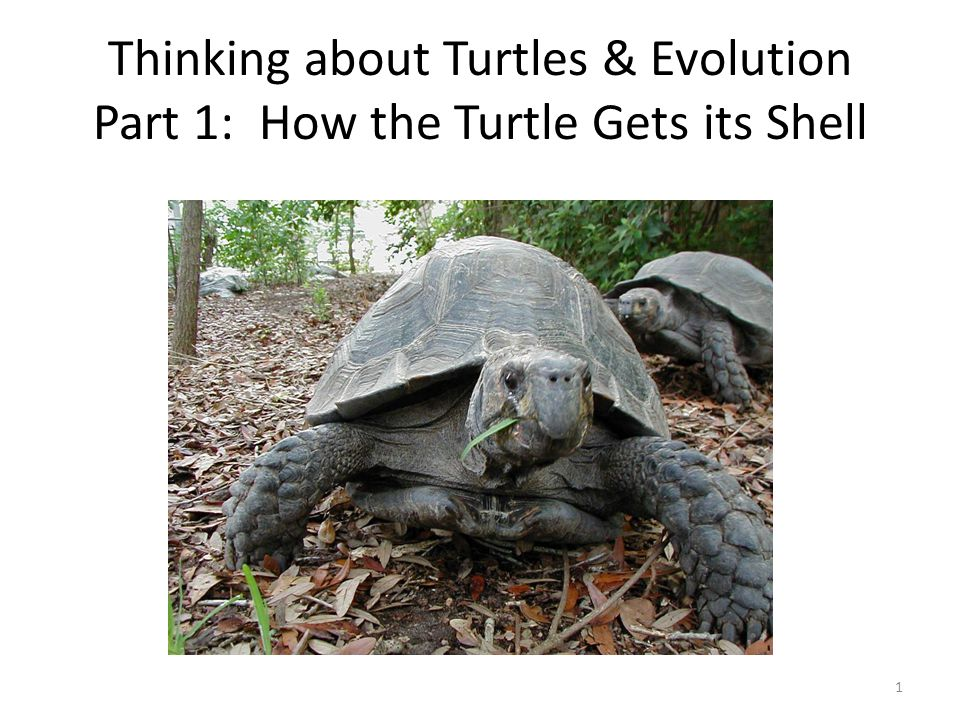 Thinking about Turtles & Evolution Part 1: How the Turtle Gets its Shell