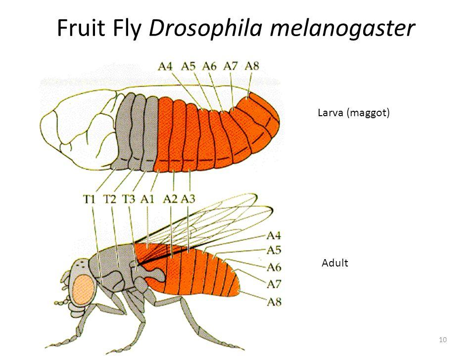 Fruit Fly Drosophila melanogaster