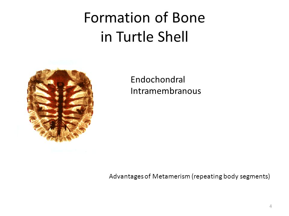 Formation of Bone in Turtle Shell