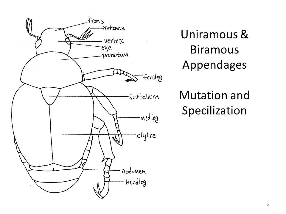 Uniramous & Biramous Appendages Mutation and Specilization