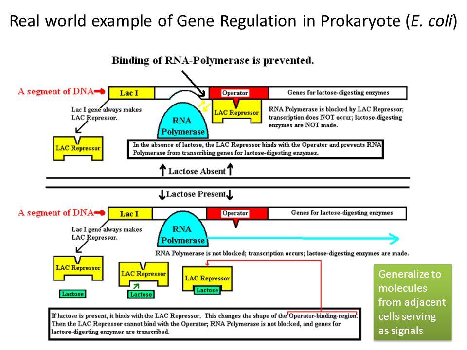 Real world example of Gene Regulation in Prokaryote (E. coli)