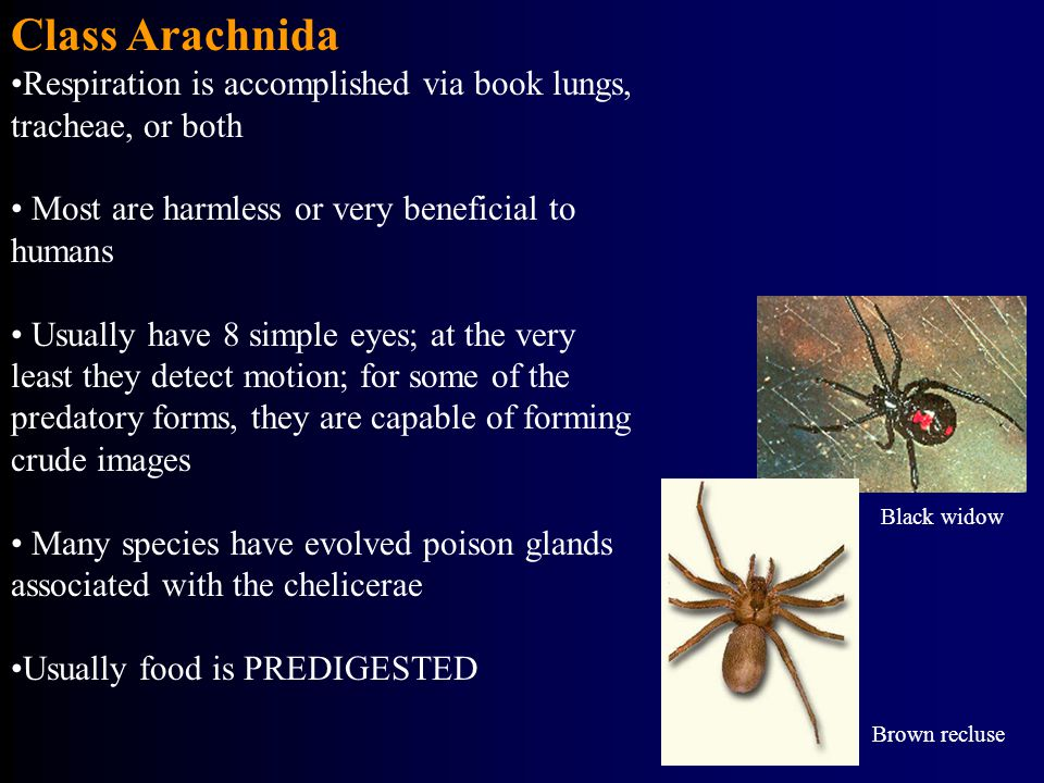 Class Arachnida Respiration is accomplished via book lungs, tracheae, or both. Most are harmless or very beneficial to humans.