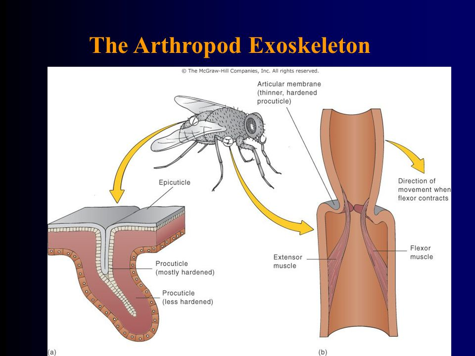 The Arthropod Exoskeleton