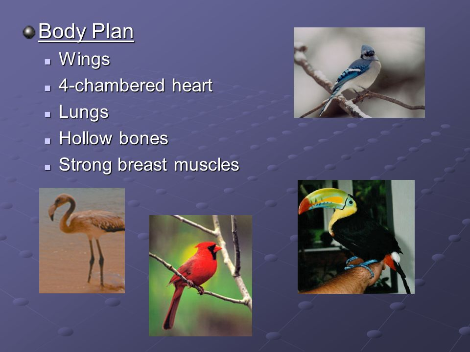 Body Plan Wings 4-chambered heart Lungs Hollow bones