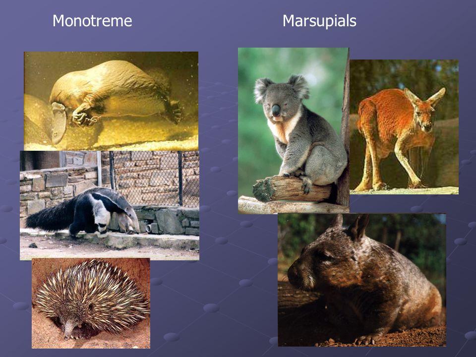 Monotreme Marsupials