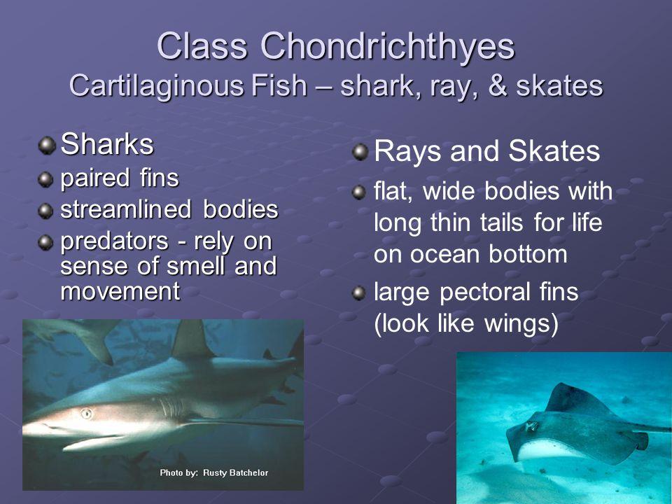 Class Chondrichthyes Cartilaginous Fish – shark, ray, & skates
