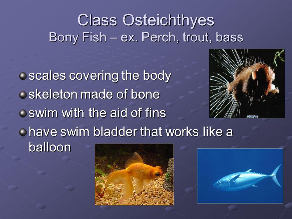 Class Osteichthyes Bony Fish – ex. Perch, trout, bass