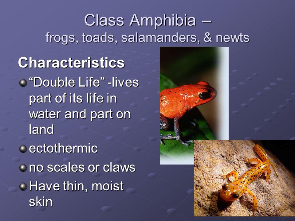 Class Amphibia – frogs, toads, salamanders, & newts
