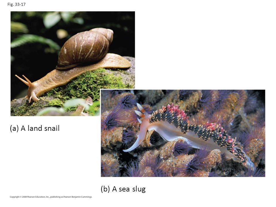 Fig. 33-17 (a) A land snail Figure 33.17 Gastropods (b) A sea slug