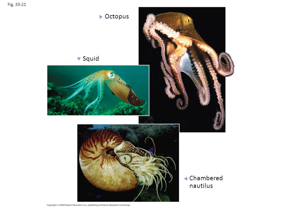 Fig. 33-21 Octopus Squid Figure 33.21 Cephalopods Chambered nautilus