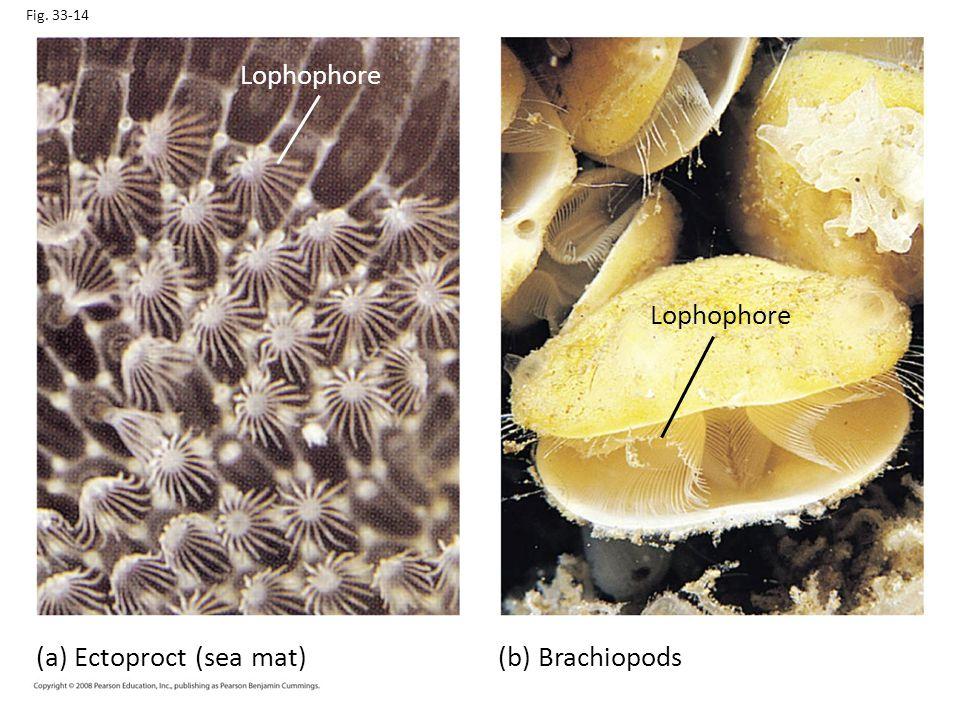(a) Ectoproct (sea mat) (b) Brachiopods