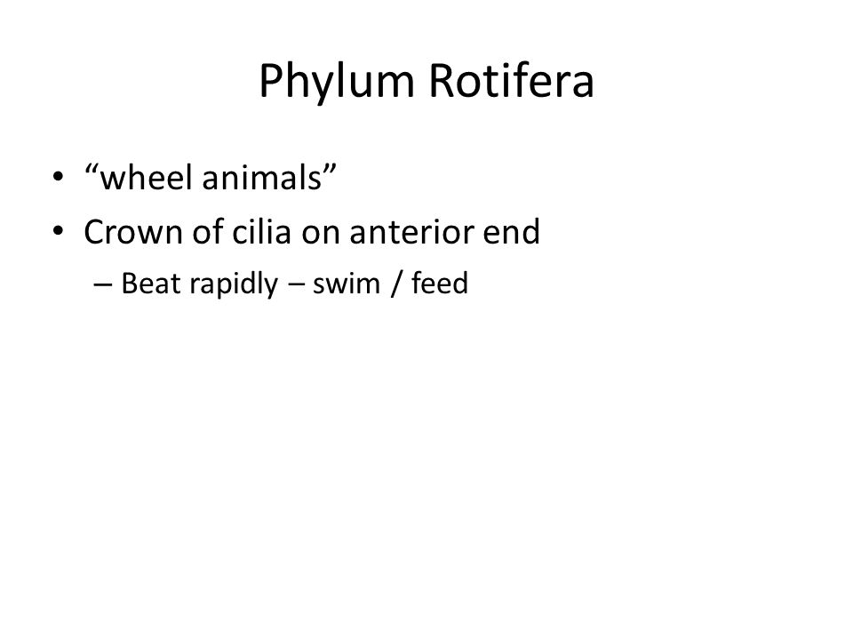 Phylum Rotifera wheel animals Crown of cilia on anterior end