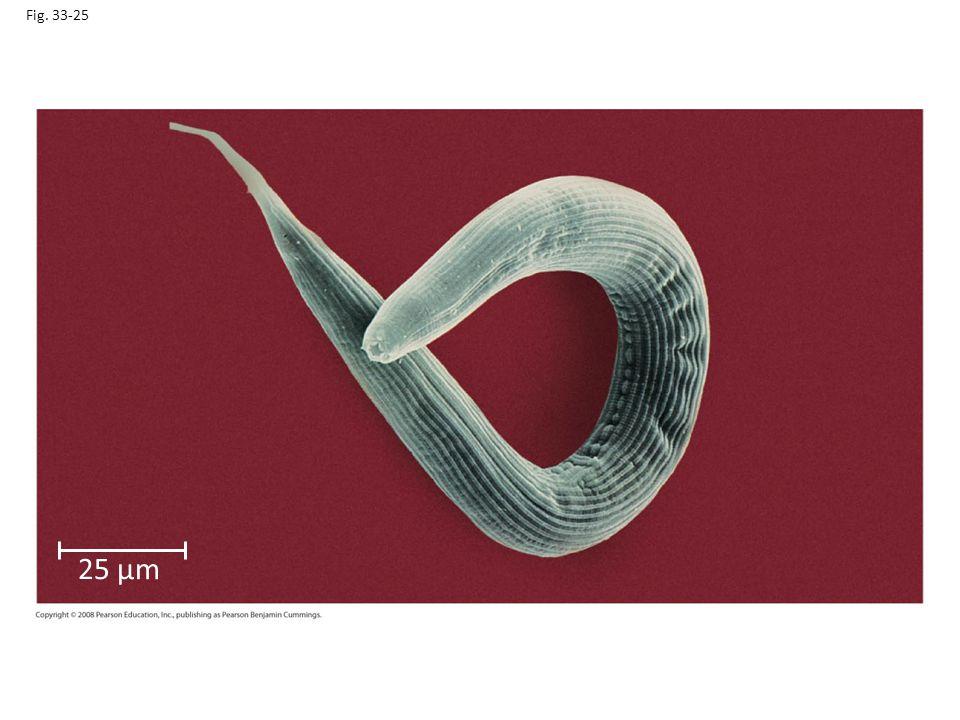 Fig. 33-25 Figure 33.25 A free-living nematode (colorized SEM) 25 µm