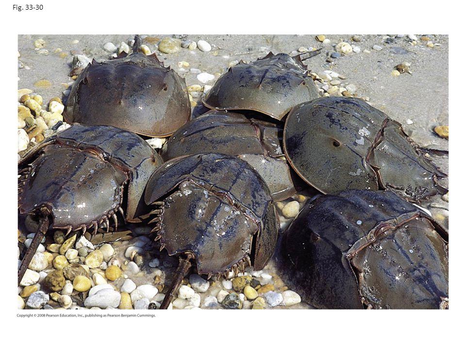 Fig. 33-30 Figure 33.30 Horseshoe crabs (Limulus polyphemus)