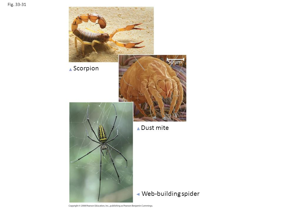 Scorpion Dust mite Web-building spider 50 µm Fig. 33-31