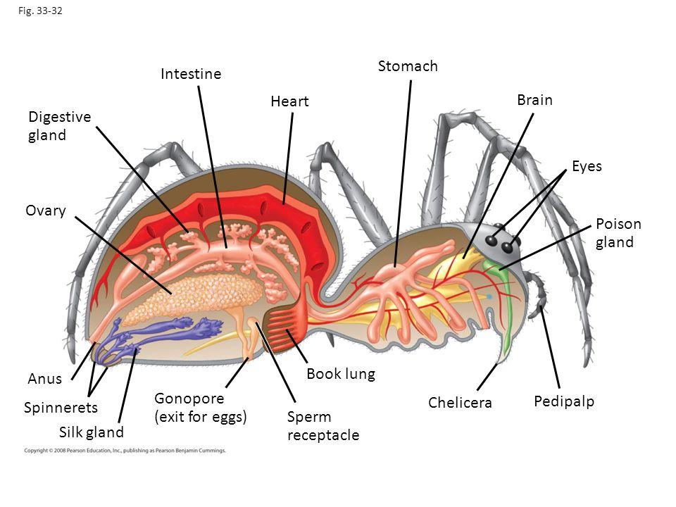 Stomach Intestine Heart Brain Digestive gland Eyes Ovary Poison gland