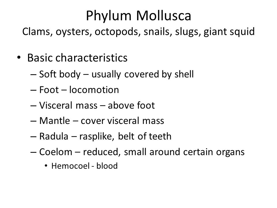 Phylum Mollusca Clams, oysters, octopods, snails, slugs, giant squid