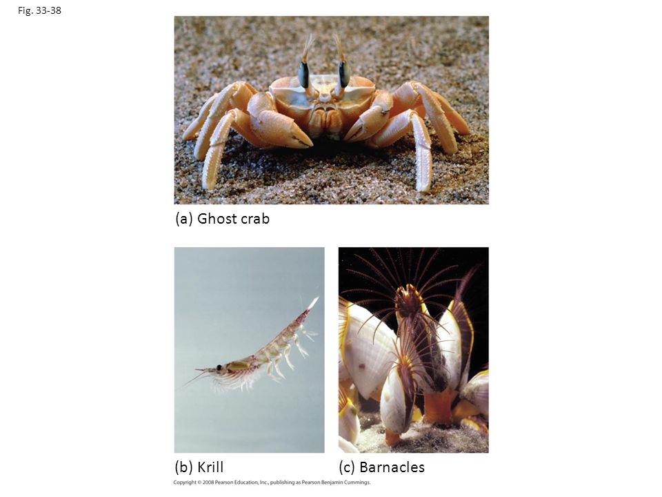 (a) Ghost crab (b) Krill (c) Barnacles Fig. 33-38