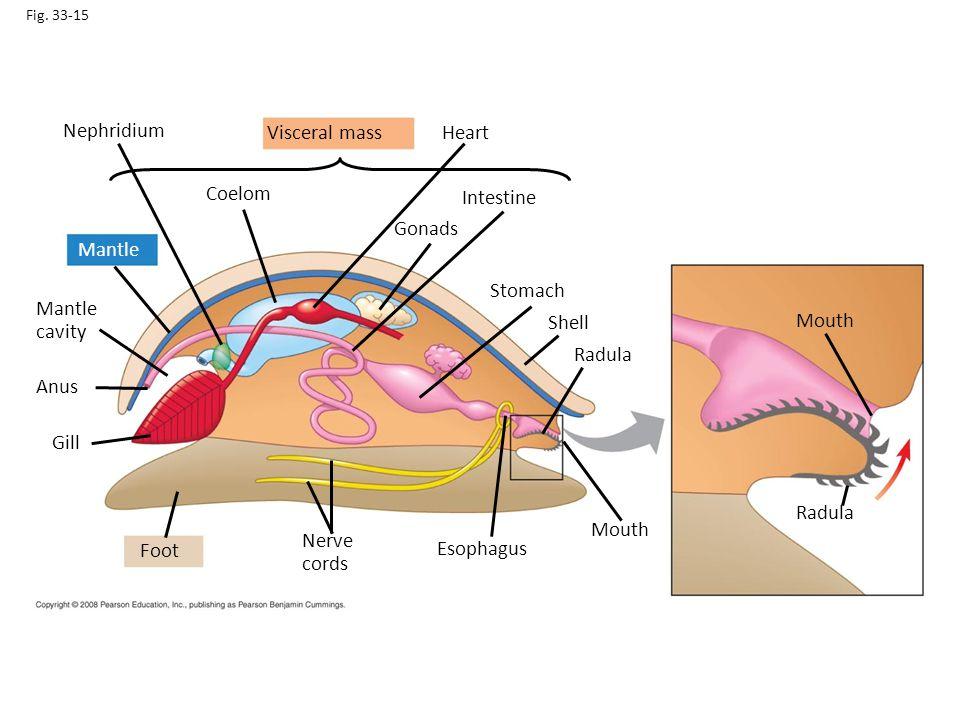 Nephridium Visceral mass Heart Coelom Intestine Gonads Mantle Stomach