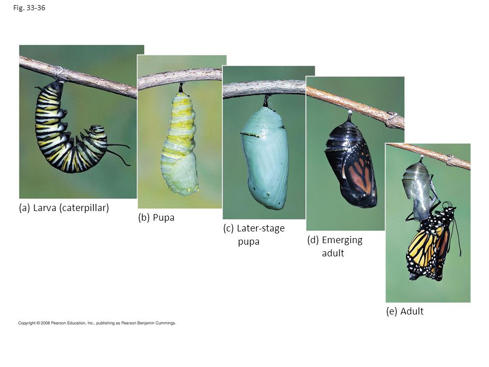 (a) Larva (caterpillar) (b) Pupa (c) Later-stage pupa (d) Emerging