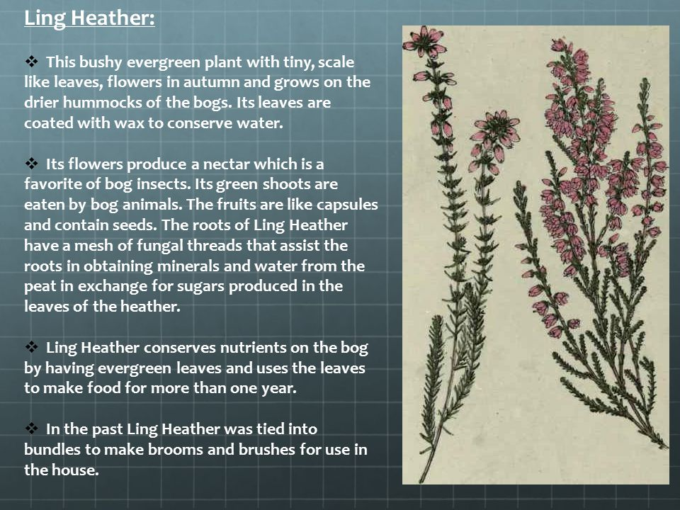 Ling Heather: