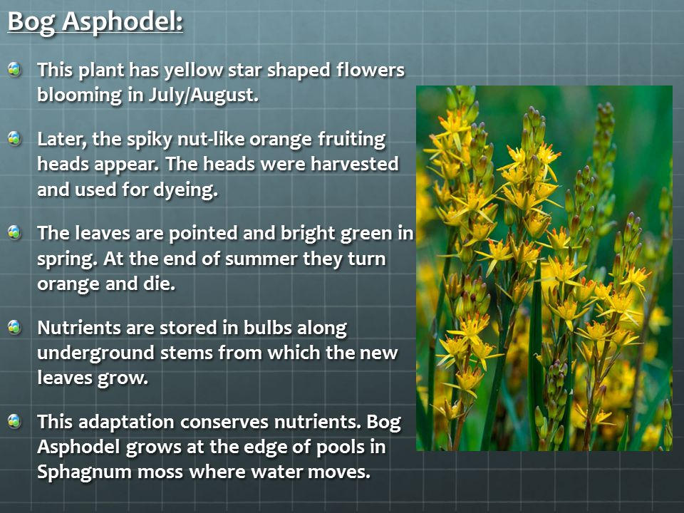 Bog Asphodel: This plant has yellow star shaped flowers blooming in July/August.