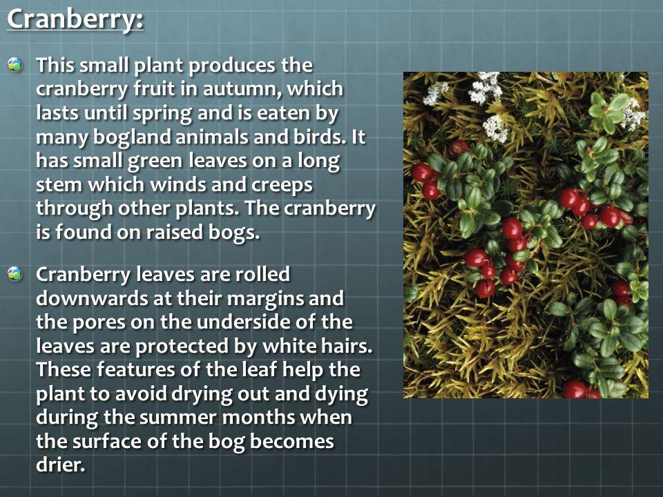 Cranberry:
