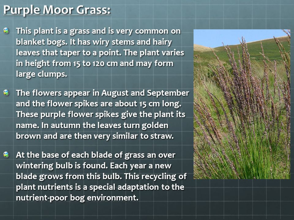 Purple Moor Grass: