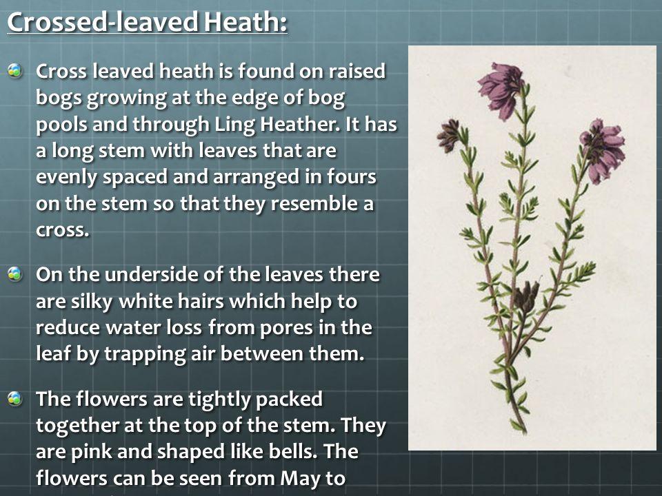 Crossed-leaved Heath: