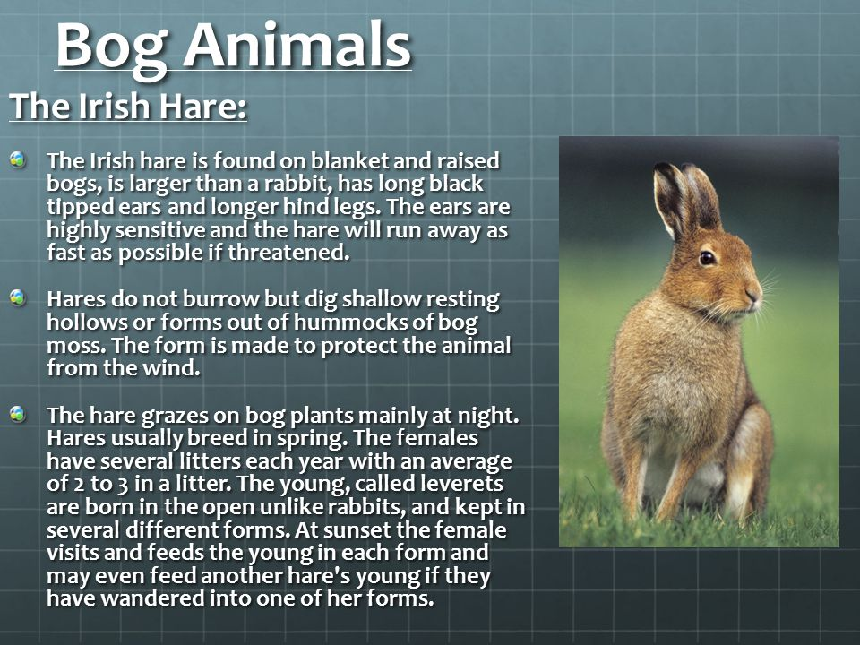 Bog Animals The Irish Hare: