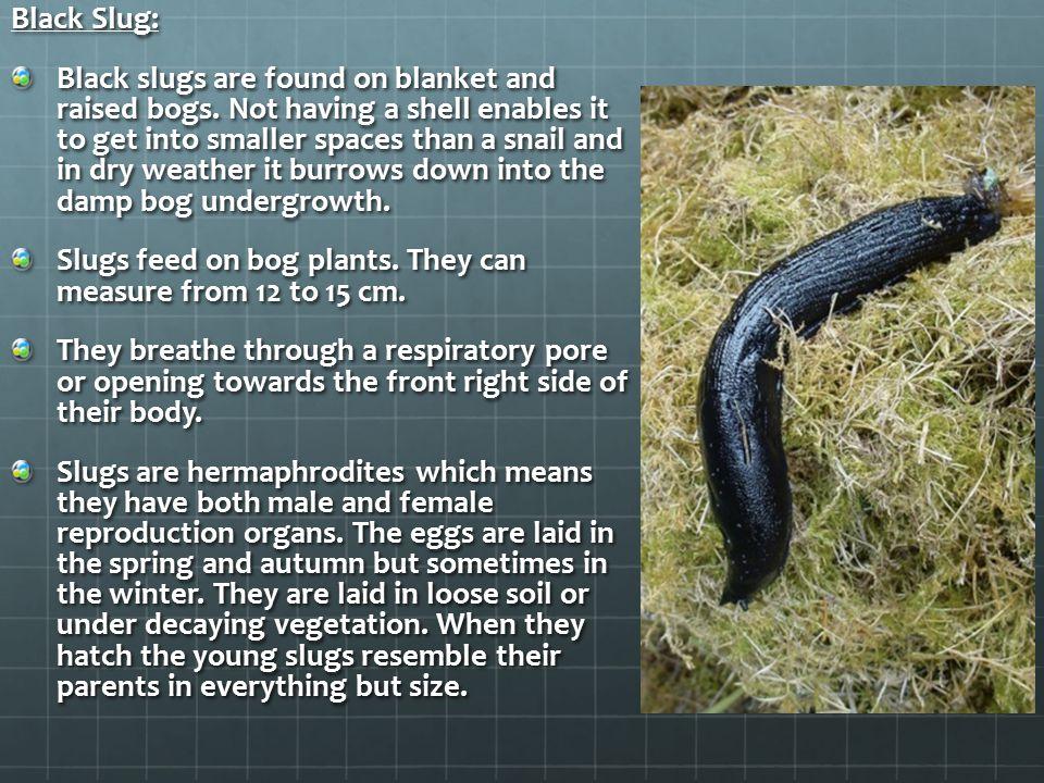 Black Slug: