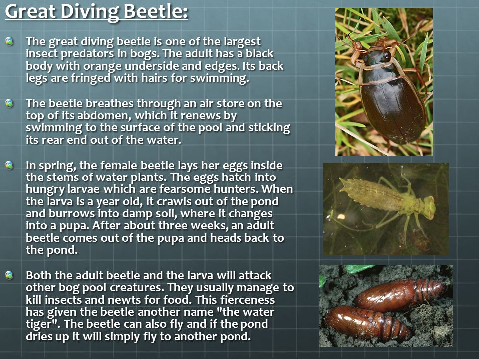 Great Diving Beetle: