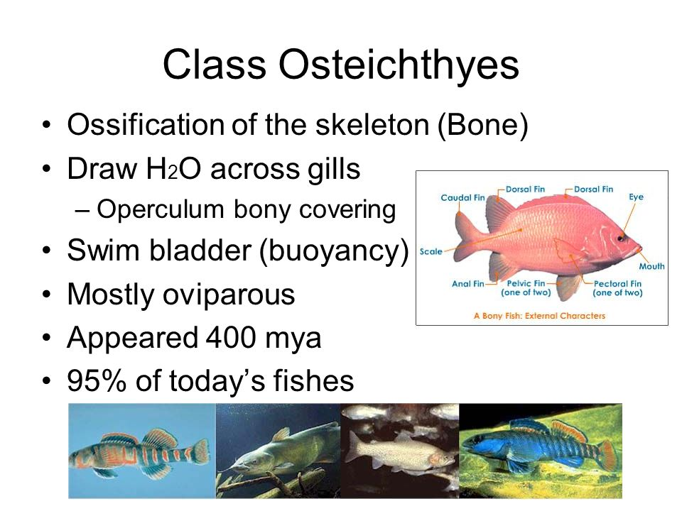 Class Osteichthyes Ossification of the skeleton (Bone)