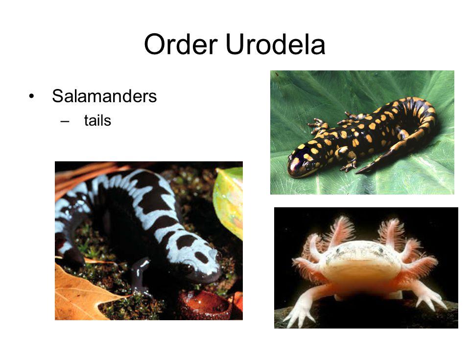 Order Urodela Salamanders tails