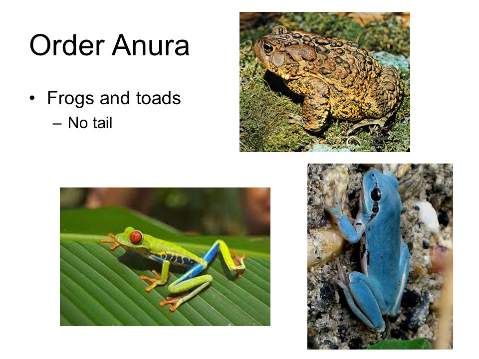 Order Anura Frogs and toads No tail