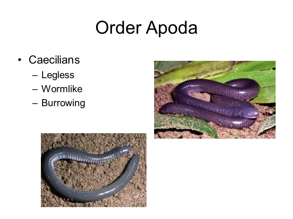 Order Apoda Caecilians Legless Wormlike Burrowing