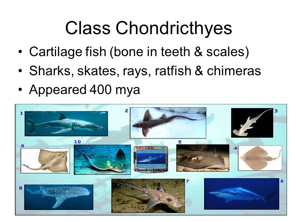 Class Chondricthyes Cartilage fish (bone in teeth & scales)
