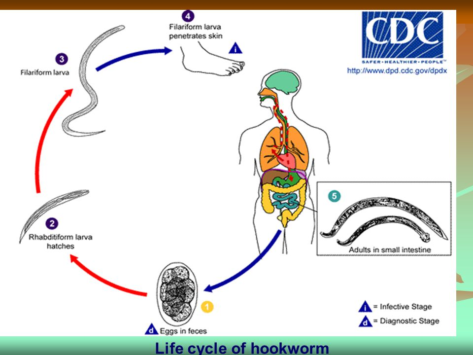 Life cycle of hookworm Life cycle of hookworm