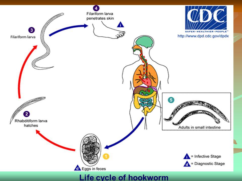 Life cycle of hookworm Life cycle of hookworm
