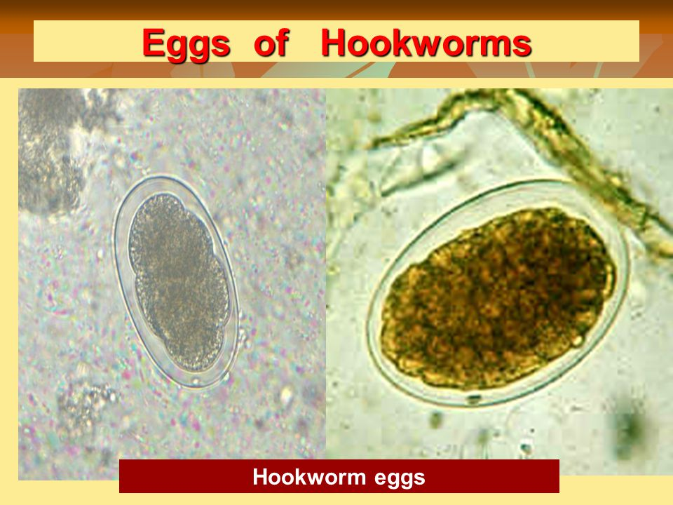 Eggs of Hookworms Hookworm eggs Hookworm eggs