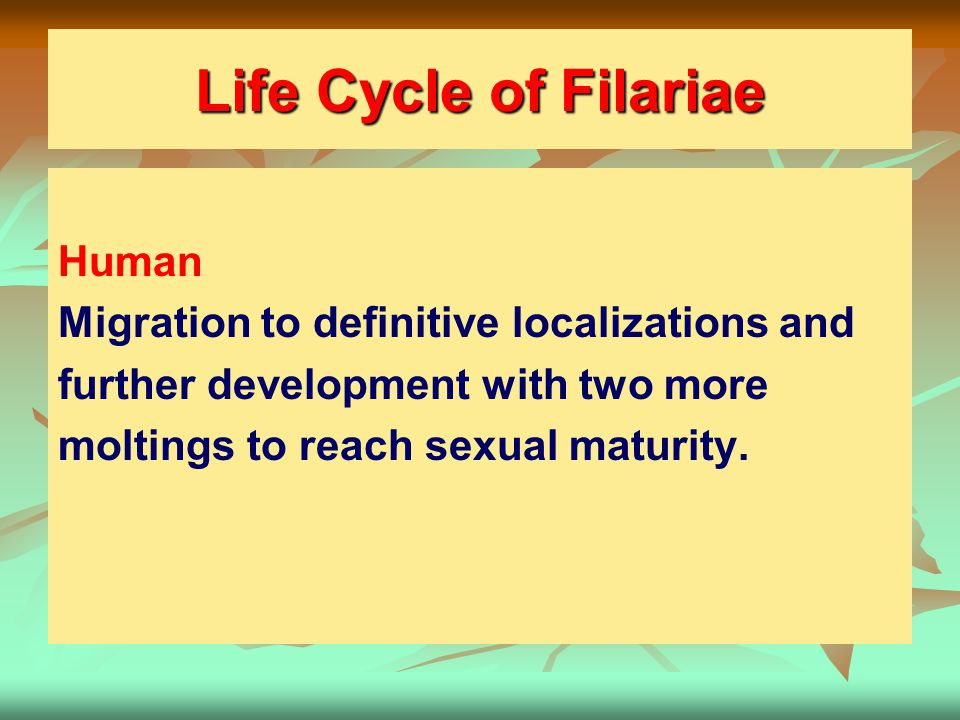 Life Cycle of Filariae Human Migration to definitive localizations and