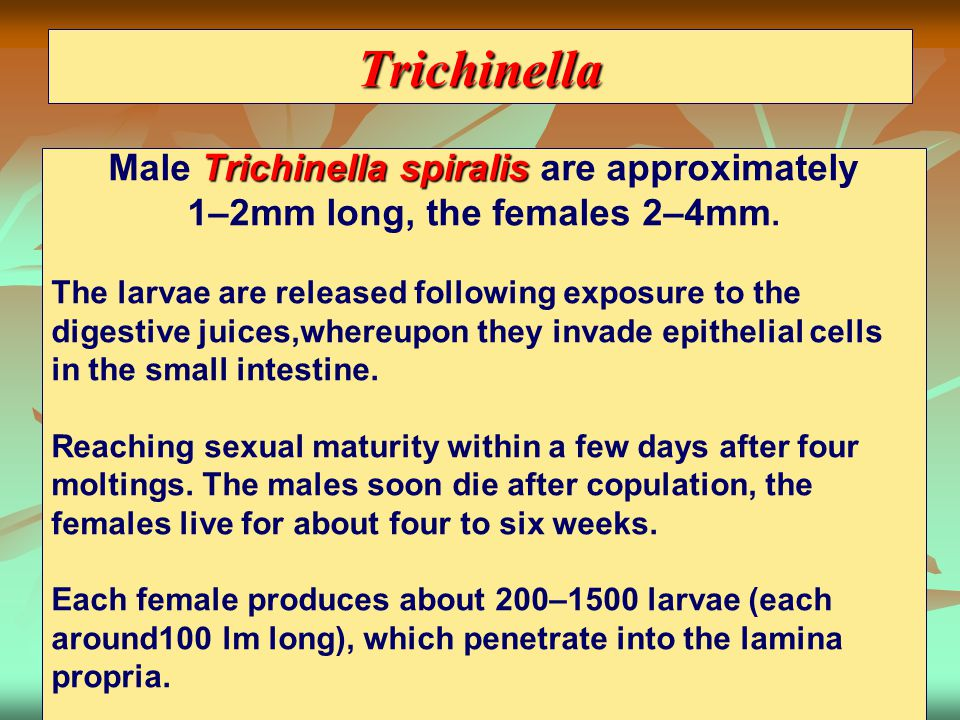 Trichinella Male Trichinella spiralis are approximately