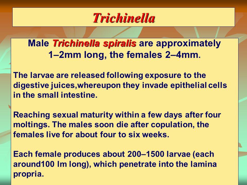 Trichinella Male Trichinella spiralis are approximately