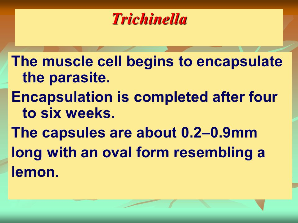 Trichinella The muscle cell begins to encapsulate the parasite.