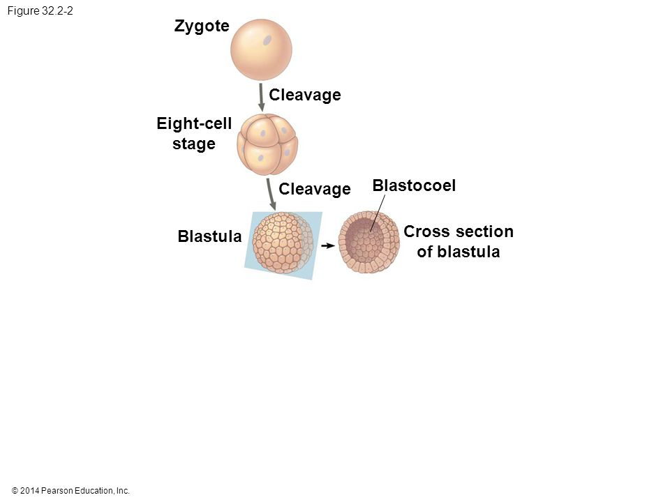 Eight-cell stage Cross section of blastula