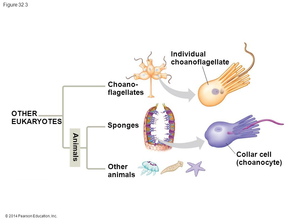 Individual choanoflagellate Choano- flagellates OTHER EUKARYOTES