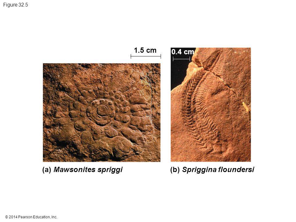 1.5 cm 0.4 cm (a) Mawsonites spriggi (b) Spriggina floundersi