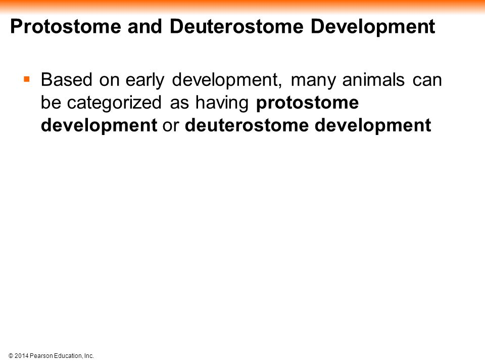 Protostome and Deuterostome Development