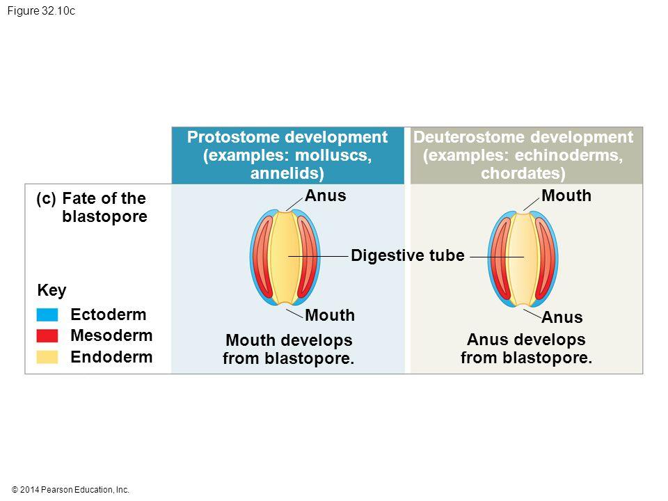 Protostome development (examples: molluscs, annelids)